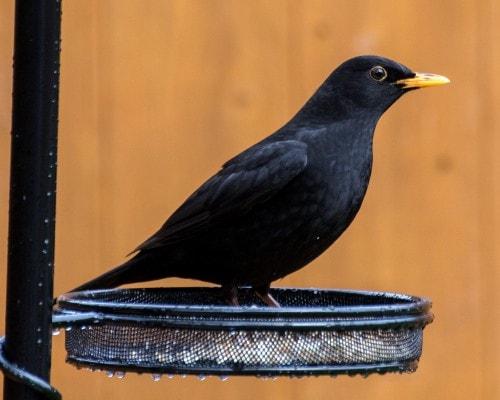 Blackbird Fact File - British Garden Wild Bird - Peckamix